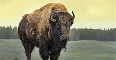 FACT CHECK: Obama Orders Bison to Replace Bald Eagle as