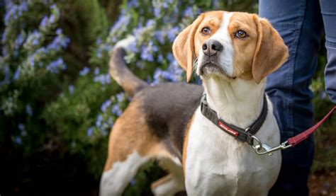 RSPCA Tasmania dogs and cats available for adoption   The