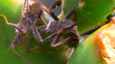 Leaf-Footed Insects Wrestle Over Access to Females and