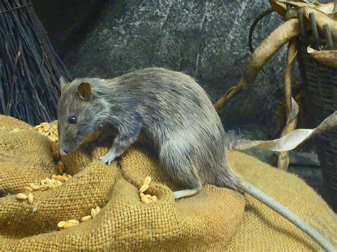 Rats Off the Hook for the Black Death? | Nat Geo Education